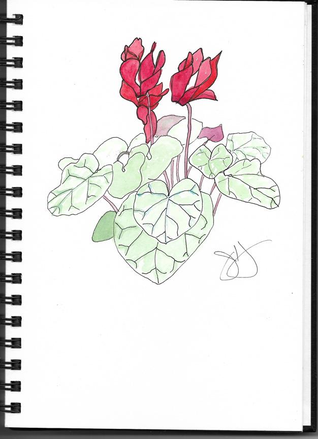 Jane-red cyclamen