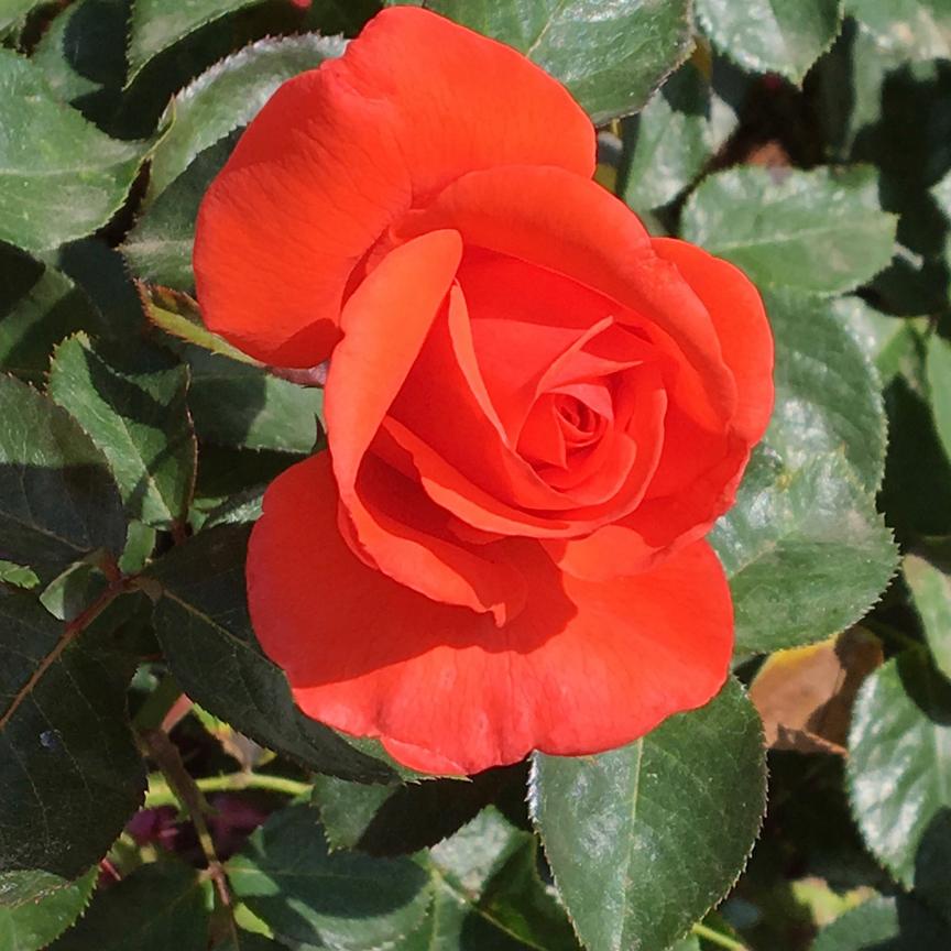 G-rose-2