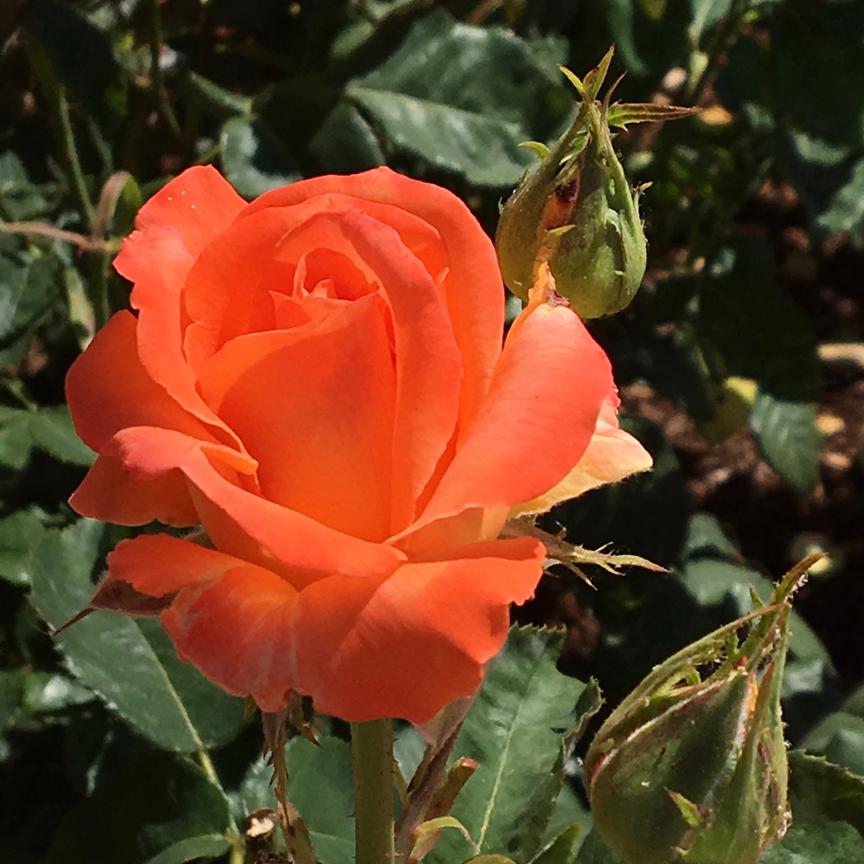 g-rose-1
